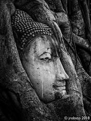 Entwined (orgazmo) Tags: thailand watmahathat ayutthaya buddha monochrome blackwhite travelphotography olympus mzuiko12100mmf4ispro micro43s omd em1mk2 stilllife