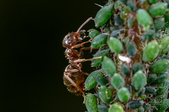 Ant milking aphid (AndyMarquis105) Tags: insect ant