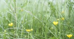 Meadow flowers (Wouter de Bruijn) Tags: fujifilm xt2 fujinonxf56mmf12r buttercup flower flowers water drop dew bokeh depthoffield nature soft dream haze fog mist westhove mantelingen oostkapelle veere walcheren zeeland nederland netherlands holland dutch outoor grass