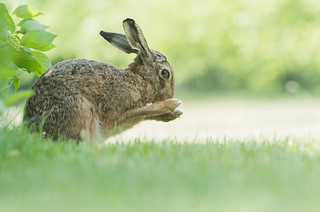 Brown Hare - Garden visitor -