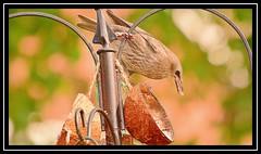 """Starling chicks afledge... and ravenous...!!!"" (NikonShutterBug1) Tags: nikond7100 tamron18400mm birds ornithology wildlife nature spe smartphotoeditor birdfeedingstation bokeh starling fledgling chick birdsfeeding 7dwf"