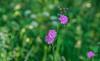 Green and pink (Marco van Beek) Tags: nature flower green pink holland europe beautiful world nikon d5000 afs dx nikkor 18200mm f3556g ed vr ii garden macro