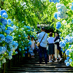 At Hydrangea Entrance of Meigetsuin Temple. Kamakura : 北鎌倉・明月院あじさい参道 thumbnail