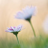 Softly (marielledevalk) Tags: daisy flower macro nature soft dof serene