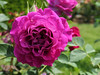 Magenta rose with lots of petals (Monceau) Tags: magenta vivid rose ruffles ruffled parcdubagatelle roseraie 365the2018edition 3652018 day154365 03jun18 154365 365picturesin2018