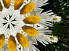 Kaleidoskop - Kaleidoscope, Calidoscopium, caleidoscópiom, kaléidoscope - Margerite (Leucanthemum) (eagle1effi) Tags: margeriten postprocessing kaleidoskop kaleidoscopekaleidoskop calidoscopium caleidoscópiom kaléidoscope margerite leucanthemum