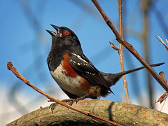 I am spotted towhee! (Reva G) Tags: bird towhee spottedtowhee nature wildlife orange spotted northvancouver northshore bc singing black
