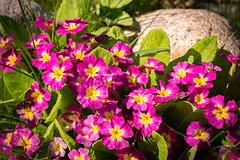 Pink Primula (Oleg Peresvet) Tags: canon 6d 180mm 35l