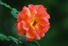 Wer Gottes Minne will erjagen (amras_de) Tags: rose rosen ruža rosa ruže rozo roos arrosa ruusut rós rózsa rože rozes rozen roser róza trandafir vrtnica rossläktet gül blüte blume flor cvijet kvet blomst flower floro õis lore kukka fleur bláth virág blóm fiore flos žiedas zieds bloem blome kwiat floare ciuri flouer cvet blomma çiçek