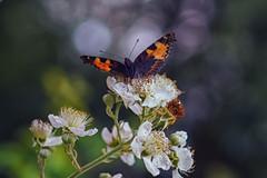 kleiner fuchs auf brommbeere (_andrea-) Tags: sonyalpha7mii kleiner fuchs bokehshots bokeh bokehjunkie bokehs sonya7m2 carlzeiss outdoor objektiv butterfly schmetterling nature planart1450 sonyphotography