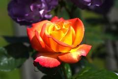 DSC_0162 (PeaTJay) Tags: nikond750 sigma reading lowerearley berkshire macro micro closeups gardens outdoors nature flora fauna plants flowers rose roses rosebuds
