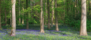 Country Park Bluebells
