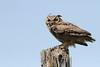 Great Horned Owl (jlcummins - Washington State) Tags: bird bluemountains wallawallacounty washingtonstate wildlife southeasternwashington jaspermountainroad greathornedowl