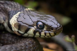 Grass Snake 1