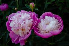 Bowls Of Beauty (Stephen Reed) Tags: flowers spring naturalbeauty flora nikon d7000 garden closeup