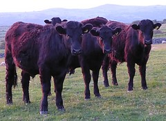 Meet the boys, Taff, Griff,Owen at the back Reece (lesleydugmore) Tags: bullock brown mountains green outside outdoors nature barmouth northwales britain wales uk europr snowdonia snowdonianationalpark sunset evening twilight peaceful cattle