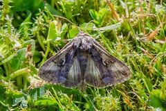 Migrant Visitor: The Silver Y (Ian.Kate.Bruce's Wildlife) Tags: silvery autographagamma noctuidae moth wildlife nature ianbruce katebruce cumbria england uk
