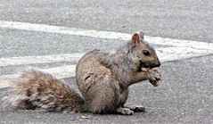 urban squirrel eating a peanut IMG_3696 (Shutterbuglette) Tags: inexplore wasinexplorethensuddenlyremoved shutterbuglette highviews