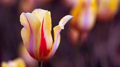 flower (sandilesmana28) Tags: tulip kashmir india bokeh dof nature green yellow purple