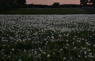 Löwenzahn (Taraxacum sp.) am Morgen; Bergenhusen, Stapelholm (14)