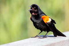 Redwing blackbird (mayekarulhas) Tags: philadelphia pennsylvania unitedstates us redwing blackbird bird avian canon canon7dll johnheinznaturereserve
