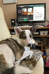 Computer Dog (Jainbow) Tags: lina rescuedog romanianrescuedog streetdog shollie adopteddog adoptdontshop jainbow officechair swivelchair computer mac apple mess