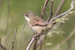 Whitethroat (Dougie Edmond) Tags: monkton scotland unitedkingdom gb bird birds nature wildlife summer
