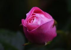 DSC_0031 (PeaTJay) Tags: nikond750 sigma reading lowerearley berkshire macro micro closeups gardens outdoors nature flora fauna plants flowers bouquet rose roses rosebuds