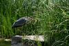 Naturgesetz-bw_20180527_5364.jpg (Barbara Walzer) Tags: 270518 botanischergarten graureiher natur reiher
