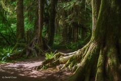 Roots (buffdawgus) Tags: westernhemlock olympicnationalpark ferns rainforest canonef24105mmf4lisusm washington topazsw olympicpeninsula lightroom6 sitkaspruce hallofmossestrail olympicnationalforest hohrainforest canon5dmarkiii landscape