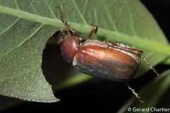 photo-3108210.jpg (GeeC) Tags: animalia arthropoda beetles cambodia chafers coleoptera insecta kohkongprovince melolonthinae nature nightwalk rainbowlodge scarabbeetles scarabaeidae scarabaeoidea tatai