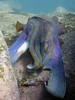 20180531-Shelly Paul-132 (frannyfish) Tags: shelly beach cabbage tree bay manly nsw scuba large male cuttlefish