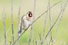 Chardonneret élégant / European Goldfinch (julienmartlet) Tags: oiseau chardonneretélégant chardonneret goldfinch bird france baie de somme