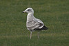 European Herring Gull (argenteus) - 2CY - October - UK (Keith V Pritchard) Tags: 2cy 2ndcalendaryear 2ndwinter dorset europeanherringgull herringgull larusargentatusargenteus october portlandbill uk gull laridae seagull