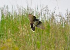 Fly-catching (Larry Wilkin) Tags: photo camera nikon nikond5200 nikonnikkor55300mm nature animal bird flycatcher tyrantflycatcher easternkingbird tyrannustyrannus northerlyislandpark chicago