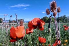 Fenceline Wild Garden - Utah (carfull...in Wyoming) Tags: poppy poppies utah eden huntsville pineview fence pasture pastoral thistle flower weber