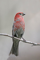 Pine Grosbeak (Alan Gutsell) Tags: pine grosbeak pinegrosbeak finch bird canadabirds canada alan nature wildlife okanagan valley bc