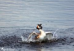 Le barboteur ;o) (jean-daniel david) Tags: oiseau oiseaudeau nature grèbehuppé grèbe eau réservenaturelle reflet lac lacdeneuchâtel grandecariçaie volatile suisse suisseromande vaud cheseauxnoreaz yverdonlesbains