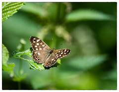 Speckled Wood Butterfly (Keith Boyles) Tags: butterfly speckled wood phyllis currie essex nikon d750 sigma 150600mm wildlife