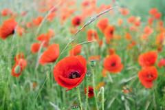 Opium (NVOXVII) Tags: poppy flower doubleexposure digitalart canon colours red green botanical dreamy ethereal dof depthoffield macro