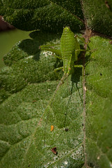 Speckled bush cricket (terrydoyle3) Tags: insect macro cricket speckled bush