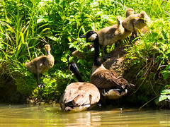 Supervising the return to dry land (Andy Sut) Tags: wildlife nature supervision bank water england shropshire dennfarm young family birds emerging land pond parents goslings canadageese geese goose