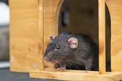 At the door (Tambako the Jaguar) Tags: pet rat rodent female gray black house wood toy door props photoshooting close macro zürich switzerland nikon d5