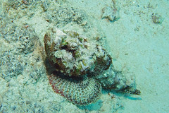 diabolus (BarryFackler) Tags: diving scuba underwater konadivingcompany hawaii aquatic marinebiology seacreature island coral pacificocean reef fauna sealife polynesia bigisland zoology marinelife konadiving saltwater marine animal hawaiidiving westhawaii devilscorpionfish scorpaenopsisdiabolus nohuomakaha scorpionfish fish sdiabolus honokohauharbor 2018 ecology benthic halekai water ecosystem undersea organism pacific sea diver hawaiiisland konacoast life marineecology nature bay sealifecamera creature vertebrate barronfackler kona marineecosystem hawaiicounty sandwichislands barryfackler hawaiianislands biology coralreef dive being bigislanddiving northkona kailuakona camouflage