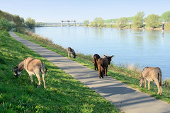 DSC_5760 Esel grasen am Ufer der Maas auf den Weg nach Roermond; im Hintergrund die Maasschleuse bei Belfeld (stadt + land) Tags: esel grasen ufer maas maasufer schleuse maasschleuse belfeld niederlande roermond hansestadt hanse neuehanse fluss rur grenze deutschland einkauf outlet grenzstadt