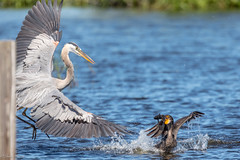 Being chased by a bully! (Linda Martin Photography) Tags: greatblueheron circlebbarreserve wildlife nature us polkcounty bird doublecrestedcormorant phalacrocoraxauritus florida animal naturethroughthelens coth alittlebeauty specanimal coth5 ngc npc