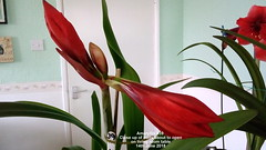 Amaryllis #39 Close up of buds about to open on living room table 14th June 2018 (D@viD_2.011) Tags: amaryllis 39 close up buds about open living room table 14th june 2018