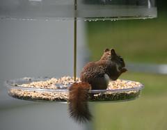 Squirrel in the birdfood (80's All Week Then More Rain-Yay!) Tags: theflickrlounge food drink fooddrink nurishment squirrel birdseed eating feeder inthebackyard graysquirrel reddishfur