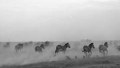 Run Forrest Run (John Kok) Tags: tanzania kusini march2018 equusquagga nikkor7020028evr2