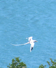 IMG_7167 (stevefenech) Tags: south pacific islands travel adventure stephen steve fenech fennock micronesia pohnpei kolonia birds